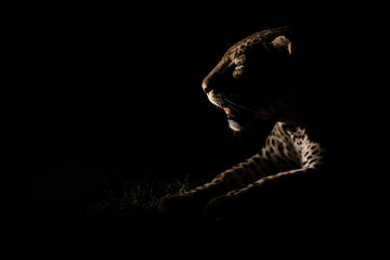 The side profile of a male leopard, Panthera pardus, lit up by a spotlight at night, mouth open,Londolozi Game Reserve