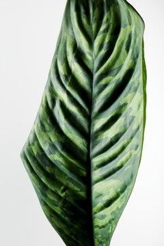 homalomena camouflage