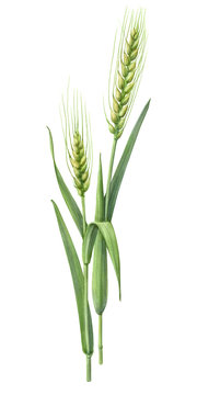 Green Wheat Hand Drawn Pencil Illustration Isolated on White