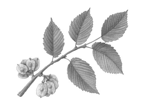 Slippery Elm Hand Drawn Pencil Illustration Isolated on White with Clipping Path
