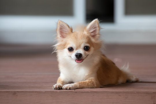 browm chihuahua sitting on floor. small dog in asian house.