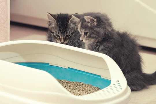 Two cute kittens are sitting near their litter box. Training kittens to the toilet