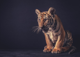 Baby tiger on dark background Fotomurales