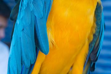 Blue-yellow macaw parrot portrait. Ara macaw parrot