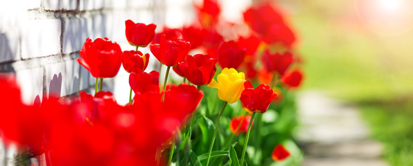 Foto op Plexiglas Rood Tulips in flower beds in the garden in spring
