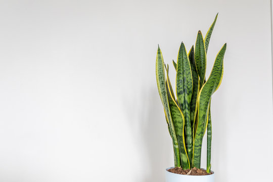 Sansevieria trifasciata plant on white background. Other name: Snake plant, Mother in law tongue, Viper's bowstring hemp.