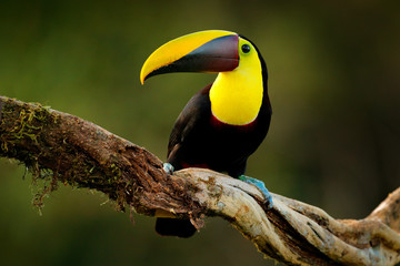 Wall Mural - Tropic bird in forest. Rainy season in America. Chestnut-mandibled toucan sitting on branch in tropical rain with green jungle background. Wildlife scene from tropic jungle. Animal in Costa Rica.