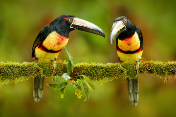 Wall Mural - Two small toucan Collared Aracari, Pteroglossus torquatus, bird pair with big bill. Bird sitting on the branch in forest, Boca Tapada, Costa Rica. Nature travel in central America. Toucan open bill.