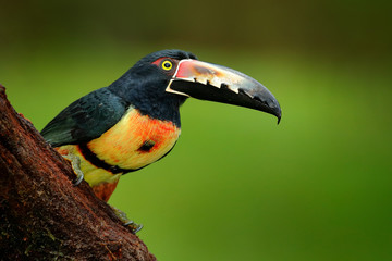 Wall Mural - toucan Collared Aracari, Pteroglossus torquatus, bird pair with big bill. Bird sitting on the branch in forest, Boca Tapada, Costa Rica. Nature travel in central America. Toucan detail.