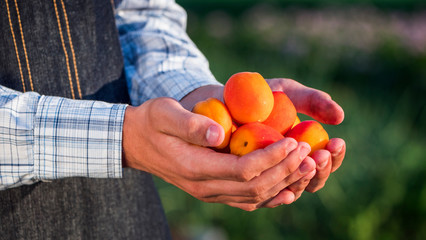 Farmer holds several ripe apricot berries
