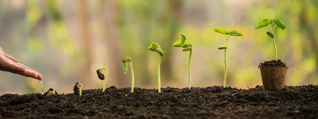 Fototapeta hand nurturing and watering young baby plants growing in germination sequence on fertile soil with morning light green nature bokeh background. agriculture, growing plants, plant seedling, gardening. obraz