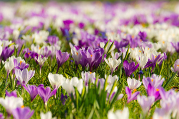Krokus-Blüte