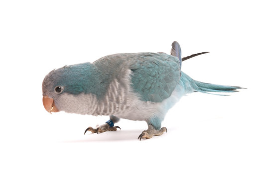 Quaker parrot, isolated on a white background with shadow.