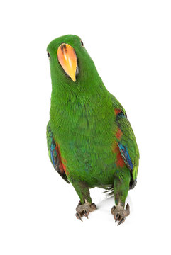 Eclectus Parrot on white background