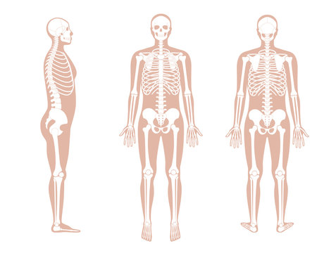 Human man skeleton anatomy