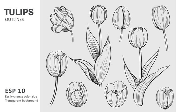 Sketch of tulips. Hand drawn outline converted to vector. Isolated on transparent