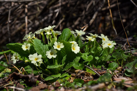 Wild Primrose (Primula vulgaris) grow in spring. Medicinal plant from which is made cough syrup