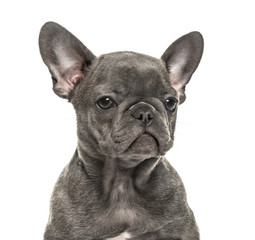 Wall Mural - Close-up of a french bulldog, isolated on white