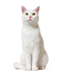 Wall Mural - White mixed-breed cat (2 years old), isolated on white