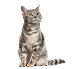 Foto op Plexiglas Kat Grey stripped mixed-breed cat sitting, isolated on white