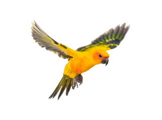 Foto op Canvas Papegaai sun parakeet, bird, Aratinga solstitialis, flying, isolated