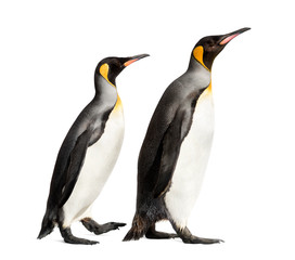 Stores à enrouleur Pingouin Side view of a king penguin walking, isolated on white