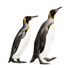 Foto auf AluDibond Pinguin Side view of a king penguin walking, isolated on white