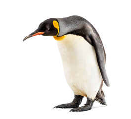 Fond de hotte en verre imprimé Pingouin King penguin looking down, isolated on white