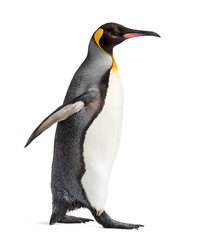 Photo sur Aluminium Pingouin Side view of a king penguin walking, isolated on white