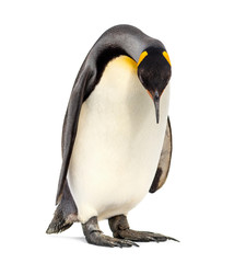Photo sur Toile Pingouin King penguin looking down, isolated on white