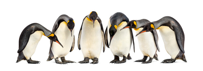 Colony of King penguins in a row, isolated on white
