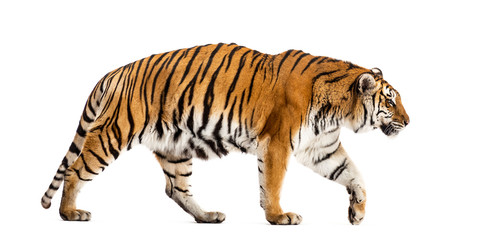 Photo sur Toile Tigre Side view of a walking tiger, big cat, isolated on white