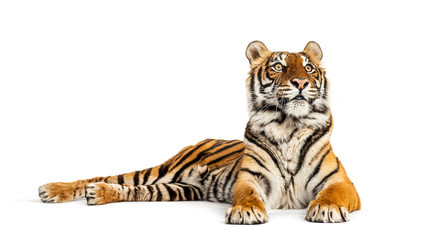 Tiger lying down, looking away, big cat, isolated on white