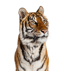 Wall Mural - Portrait of a male tiger's head, big cat, isolated on white