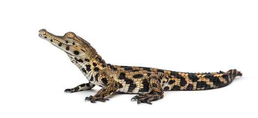 Wall Mural - West African slender-snouted crocodile, Mecistops cataphractus