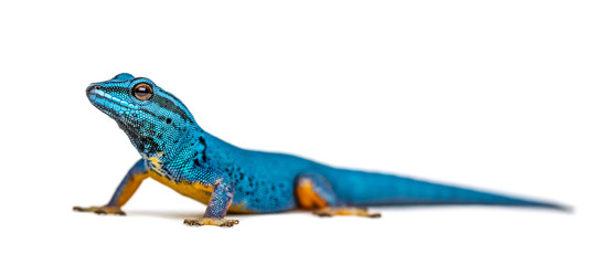 Electric blue gecko looking at the camera, Lygodactylus williams Wall mural