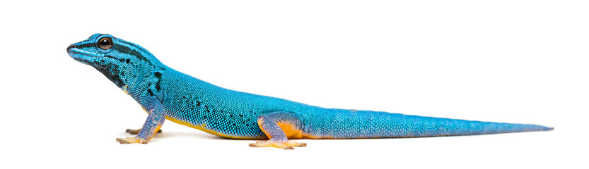 Side view of a Electric blue gecko, Lygodactylus williamsi Wall mural