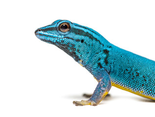 Wall Mural - Electric blue gecko looking at the camera, Lygodactylus williams