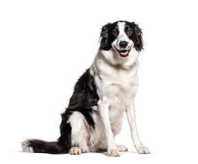 Fototapete - Black and white Border Collie panting, isolated on white