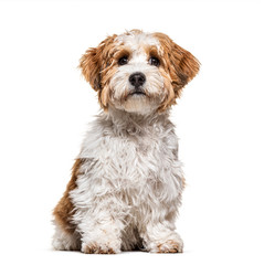 Wall Mural - Sitting Puppy Havanese dog staring, 5 months old, isolated