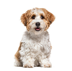 Fototapete - Sitting Puppy Havanese dog staring, 5 months old, isolated