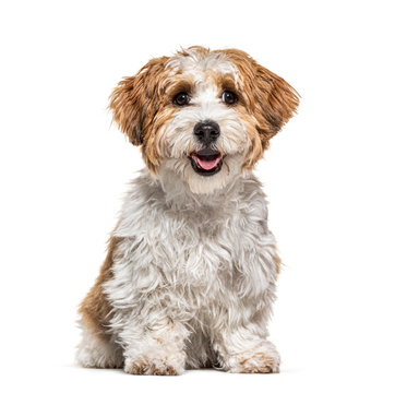 Sitting Puppy Havanese dog staring, 5 months old, isolated