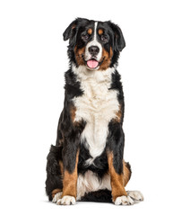 Wall Mural - Bernese Mountain Dog, isolated on white