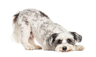 Wall Mural - Crossbreed dog bowing and begging, isolated on white