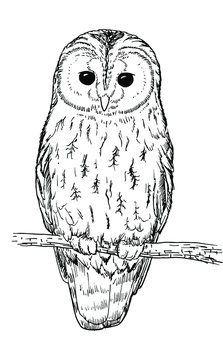 Drawing of an Tawny owl - hand sketch of wild animal, black and white illustration