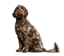 Wall Mural - Labradoodle, crossbreed dog between labrador and toy poodle