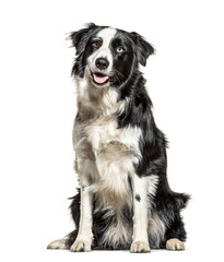 Fototapete - Panting black and white Border Collie, minnow eyes, isolated