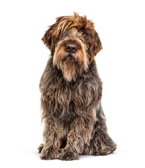 Wall Mural - Korthals Griffon dog, isolated on white