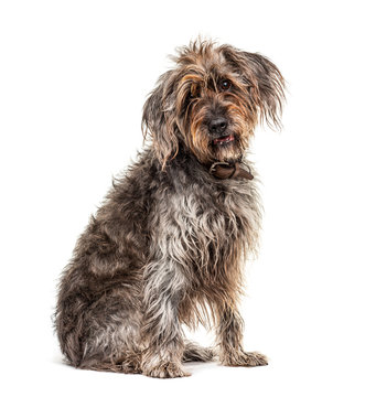 Sitting brown Shaggy Korthals Griffon dog, isolated on white