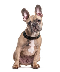 Wall Mural - Sitting French bulldog with collar, isolated on white